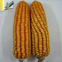 Maize Seeds (Amol-9279) 01