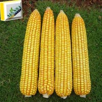 Maize Seeds (Rudra-9189) 01