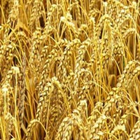 Reasearch Wheat Chetak - 729