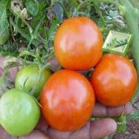 Tomato Seeds (Crazy-1026)