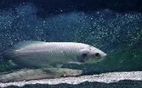 African Arowana Fish