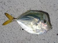 Moon Fish