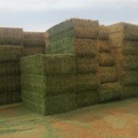 Alfalfa Grass 02