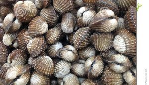 blood clam LIVE PRODUCTS