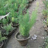 Asparagus Sprengeri Plants