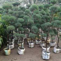 Casaurina Topiary