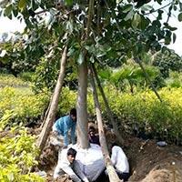 Ficus Benghalensis Banyan Plants