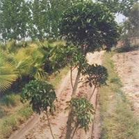 Ficus Retusa Topiary