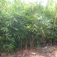 Golden Bamboo Plants