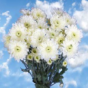 Fresh Chrysanthemums Flower