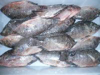 Frozen  Whole Tilapia Fishes