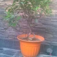 Ficus Plant
