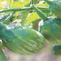 Hari Hybrid Brinjal Seeds