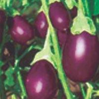Raja Hybrid Brinjal Seeds