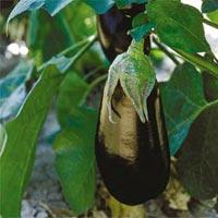 Ratna Hybrid Brinjal Seeds