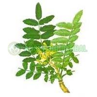 Boswellia Akba Extract