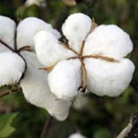Organic Raw Cotton