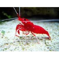 Fire Shrimp Blood Shrimp Marine Fish