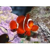 Maroon Clown  Marine Fish