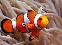 Peracula Clown Marine Fish