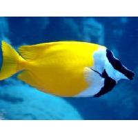 Yellow Fox Face Marine Fish
