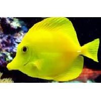 Yellow Tang Marine Fish